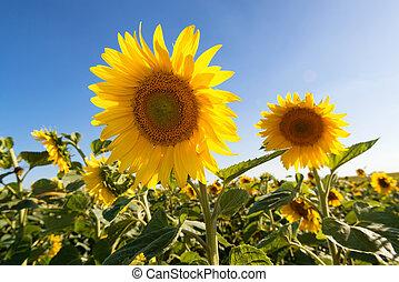 Sunflowers in sunny evening
