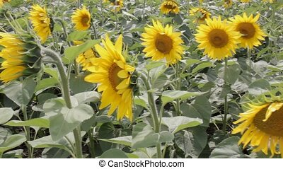 Sunflowers In The Field.