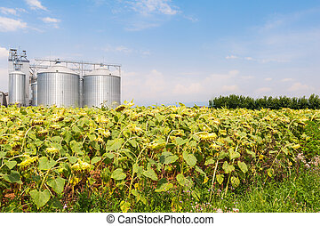 Sunflowers in the field ready for harvest and agricultural silos.
