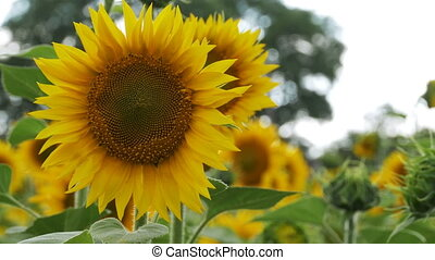Sunflowers in the Field Swaying in the Wind. Close-up....