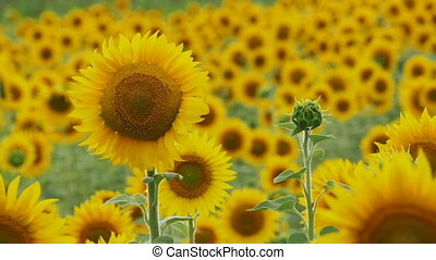 Sunflowers in the Field Swaying in the Wind. Slow Motion in...