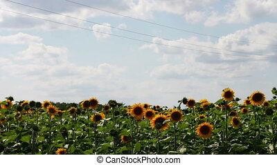 Sunflowers in the field - Sunflower field in the valley in...