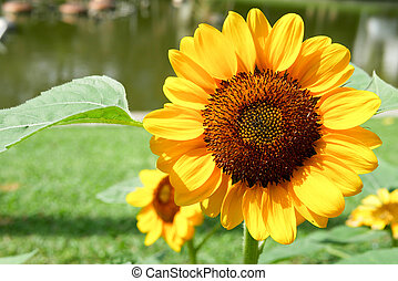 Sunflowers in the garden in the fresh morning