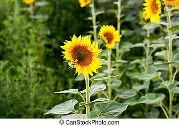 sunflowers in the summer