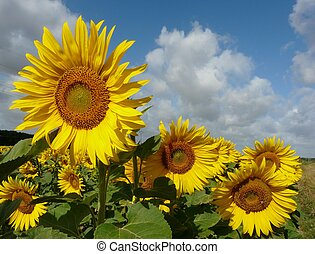 Sunflowers in the summer time