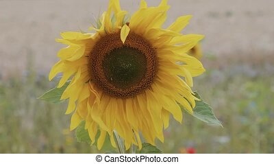 Sunflowers in the wind - beautiful picture