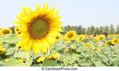 Sunflowers in the wind