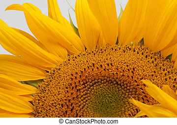 Sunflowers isolated on white background