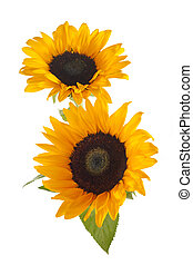 Sunflowers isolated on white background. Seasonal nature background.