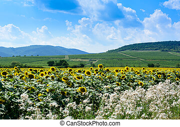 Sunflowers landscape and hills in Hungary