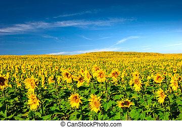 Sunflowers meadow