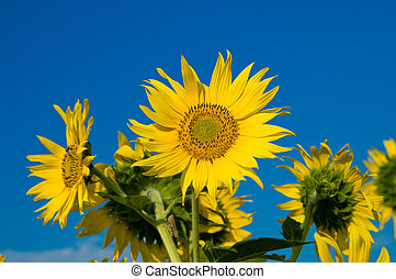 sunflowers on a background blue sky