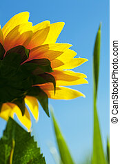 sunflowers on a background of blue sky