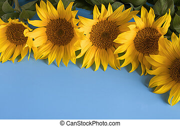Sunflowers on a blue background. Blooming sunflower. Close-up of sunflower.