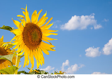 Sunflowers on a bright sunny summer day