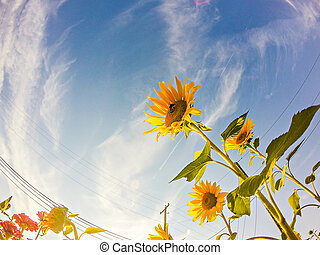 sunflowers on a farm field in a country