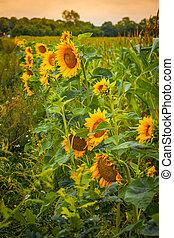 Sunflowers on a green field