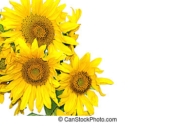 Sunflowers on a white background