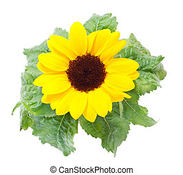 Sunflowers on a white background.