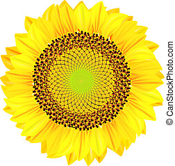 Sunflowers on a white background. Vector illustration.