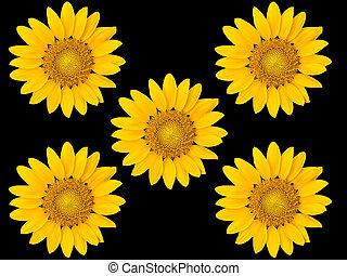 Sunflowers on black background