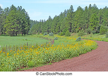 Sunflowers on Bootleg Lake Road - Sunflowers along gravel...
