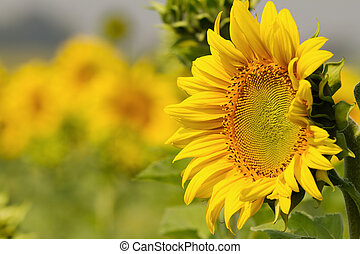 Sunflowers on field in summer