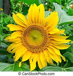 sunflowers on garden flower bed