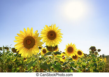 Sunflowers on summer field
