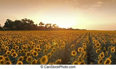 Sunflowers on sunset - Aerial view of sunflower field on...