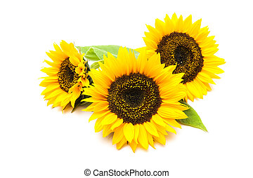 Sunflowers on the white background