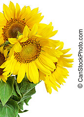 Sunflowers on white background