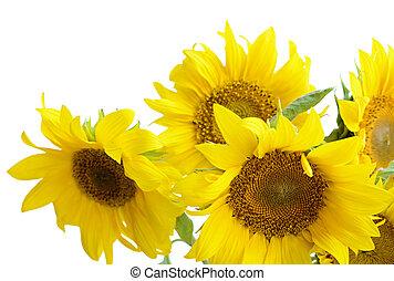 Sunflowers on white