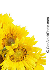 Sunflowers on whte background