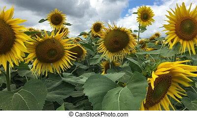Sunflowers panning camera blackmagic ursa mini 4,6k
