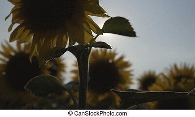Sunflowers Plant Backlight - Tracking shot of sunflowers...