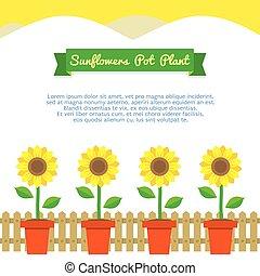 Sunflowers Pot Plant.