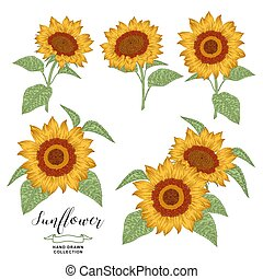 Sunflowers set. Hand drawn colorful sunflowers isolated on white background. Autumn flowers compositions. Vector illustration botanical. Vintage engraving style.