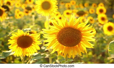 sunflowers, shallow depth of field
