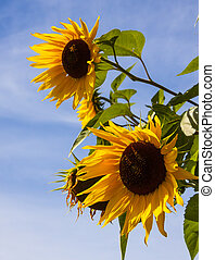 Sunflowers Stand Tall Against a Blue Sky