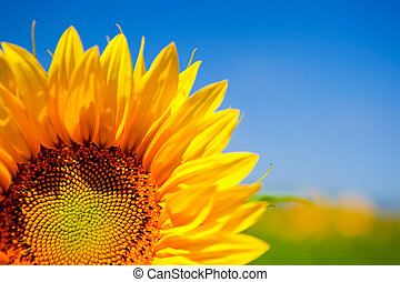 Sunflowers - Close-up picture of beautiful and colorful...