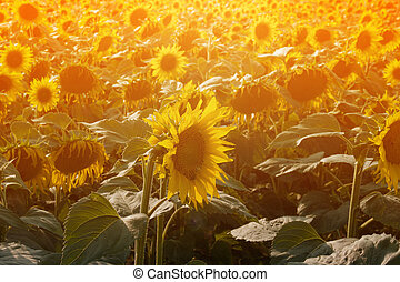 Sunflowers Summer Background