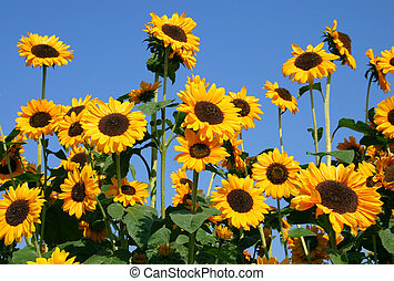 Sunflowers - Sunflower group