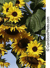 Sunflowers. - Sunflowers in the garden.