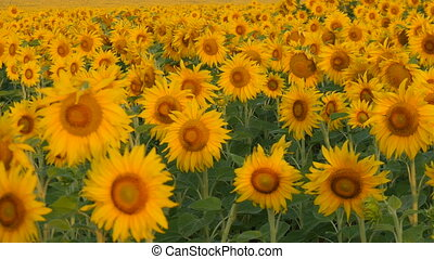 Sunflowers swaying in the light breeze on a sunny day.