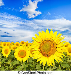 Sunflowers under blue sky