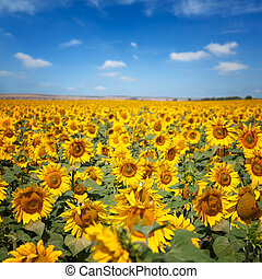 Sunflowers under blue sky with clouds