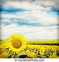 Sunflowers under blue sky with retro filter