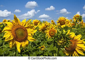 sunflowers under the blue sky. beautiful rural scene