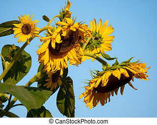 Sunflowers With Bees Against A Blue Sky, Selected Focus